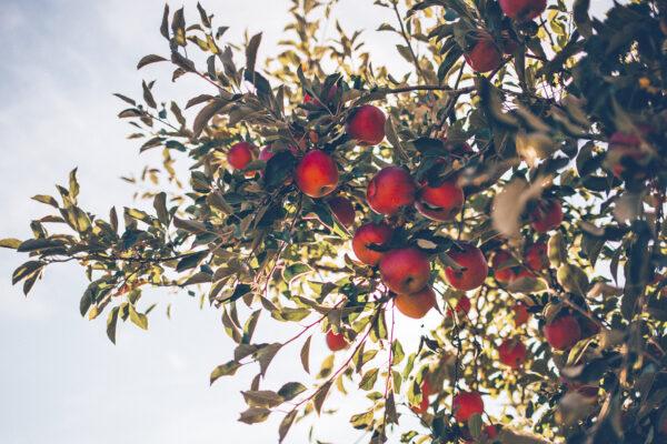 5 plantas frutíferas para cultivar em vasos